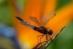 Erythrodiplax abjecta (Rambur, 1842) ♂ (PriscillaBurcher) Tags: erythrodiplaxabjecta erythrodiplax odonata dragonfly dragonflies dragonlet skimmer libélula libellulidae laceja colombia priscillaburcher l1340349 coth5