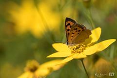 DN9A6607 (Josette Veltman) Tags: vlinders insects insecten butterfly macro nature natuur landgoed dehorte dalfsen landschapoverijssel