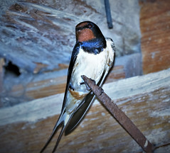 Slovakian Swallow lastovicka (I was blind now I see!) Tags: bird swallow slovakia slovensko barn inside flash perching coloured tail wings eye head body