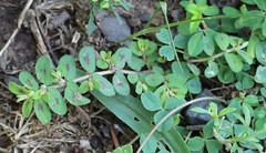 Spotted Sandmat, Euphorbia maculata
