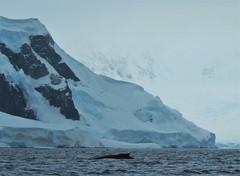 Whale and Glacier, Wilhemina Bay, Antarctica. (Ruby 2417) Tags: whale antarctica antarctic peninsula