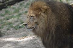 God save the king (dfromonteil) Tags: lion king roi animal protrait look eye oeil regard nature bokeh félin felino light lumière