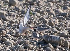 16 07 2017 (cathyk31) Tags: charadriiformes commontern laridés sternahirundo sternepierregarin bird oiseau