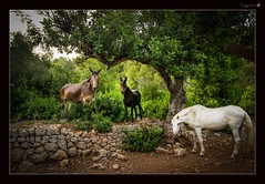Morning all (tiggerpics2010) Tags: horse mule mallorca couintryside pastoral olivegrove portdesoller mediterranean littledoglaughedstories