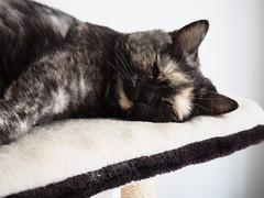 sweetie (s127ha88) Tags: cat fauchi s127ha88 sweet sleep