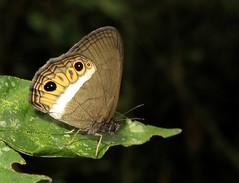 Splendeuptychia ashna (Camerar) Tags: peru satyridae splendeuptychiaashna butterflies butterfly insect