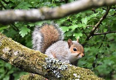 Young Squirrel watches. (pstone646) Tags: squirrel nature animal wildlife fauna tree rodent ashford kent mammal