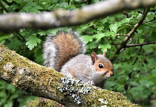 Young Squirrel watches.