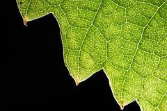 MM - Vine leaf (hjoachim1) Tags: macro natur weinblatt vineleaf texture macromondays