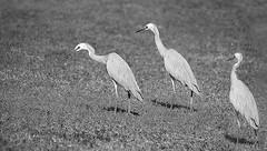Blue herons (judith511) Tags: 7daysofshooting week2 birds blackandwhitewednesday blueheron strutting cloning