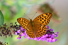 DSC_2390 (sylvette.T) Tags: papillon butterfly 2017 nature insecte silverwashedfritillary papillontabacdespagne argynnispaphia