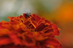 20170702_Jardins_Secrets_Vaulx_Fl (10 sur 20) (calace74) Tags: rhonealpes fleur france insectes jardin jardinssecrets macro vaulx
