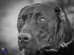 P7140168 (Songdog Studios) Tags: green dog neumond womensretreat 2017 k9 schutzhund ipo