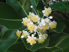 FICUS TREE FLOWERS (Patchwork Daily Desire) Tags: ficus flowers tree summer sky cuba habana vacation
