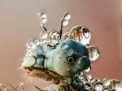 2017-07-30 10-21-19 (C) (turbok) Tags: insekten libellen tiere wasserantieren wassertropfen