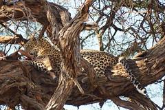 P7230049 (hugoholunder) Tags: botswana südafrika leopard juli 2017