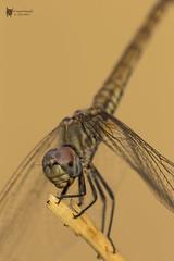 Brachythemis leucosticta (PacoCampoy) Tags: odonato libelula insecto macro