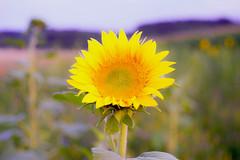 (kuuan) Tags: mf manualfocus m42 yashinon autoyashinonf25cm flower sunset sunflower mostviertel austria