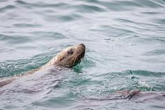 young Steller sea lion (frostnip907) Tags: ice princewilliamsound alaska marine glacier valdez seascape icescape landscape nature wildife sealion stellersealion