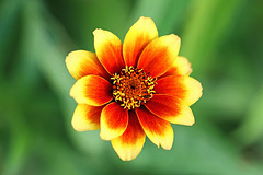 Zinnia 'Old Mexico' (Through Serena's Lens) Tags: colorful orange yellow dof bokeh outdoor garden plant macro flower zinniaoldmexico 7dwf