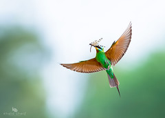 Blue-cheeked bee-eater (Merops persicus) (China (Jiangsu Taizhou)) Tags: birdinflight nikon d5 800mm f56 vr afsnikkor800mmf56efledvr birds 2017 pakistan birdsofpakistan wildlife birding forestbird bluecheekedbeeeater meropspersicus ngc nationalgeographic birdwatching birdwatcher forest lake pond