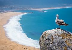 icarus (elzauer) Tags: nazaré leiria portugal pt bird