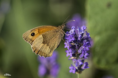 _00A9862 (giloudim) Tags: jaune lavande vert nature papillon fleur flou macro canon7dmarkii belgique
