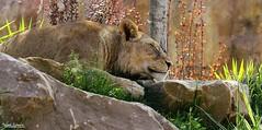Sleeping Beauty (Setsukoh) Tags: malawi lioness lionne lion africanlion liondafrique fauve félin bigcat sleep dodo dormir sleeping sleepingbeauty belleauboisdormant camouflage profil brun brown couleur color environnement environment zoo zooparcdebeauval beauval centre centrevaldeloire france frankreich canon7d leo
