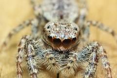 Marpissa muscosa (Haentjens Raphaël - Macropixels) Tags: arachnid araignée sauteuse salticidae saltique araneae spider jumpingspider