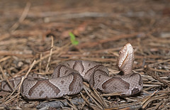 Young Northern Copperhead (cre8foru2009) Tags: northern copperhead agkistrodoncontortrix snake herping