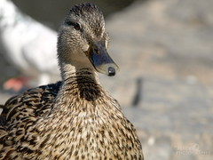 Mallard (bethspendel) Tags: duck ducks bird birds mandarin mandarinduck river animals wildlife blackandwhite