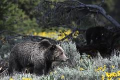 Grizzly mother known as Blondie (V. C. Wald) Tags: grizzlybear ursusarctoshorribilis tamronsp150600f563divcusdg2 grandtetonnationalpark blondie 793