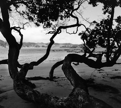 hang on (spannerino) Tags: wood tree log low black white vintage filmlives handprocessed scanned dof blackandwhite monochrome analogue analog canon9000f film newzealand pov vintagecamera viewpoint outdoor beach light