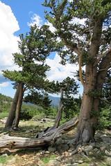 Some of the Oldest Trees in Colorado (Patricia Henschen) Tags: mountgoliath denverbotanicgardens bristlecone pine pinus aristata treeline timberline coloradofrontrange frontrange mountevans mtevans mtevansscenicbyway scenicbyway mountains idahosprings colorado mountain clouds
