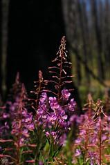 DSC_0518 (cintia scola) Tags: cíntiascola nikond300 summer2017 wildflowers