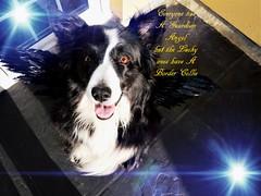 SWEET ANGEL ASHA (ASHA THE BORDER COLLiE) Tags: ashathstarofcountydown guardian angel border collie inspirational quotes
