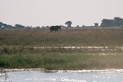 Walking elephant (knipslog.de) Tags: elephant botswana botsuana safari adventure wildlife wild animals selfdrivesafari