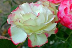 Rose (misi212) Tags: cherry parfait rose light colors