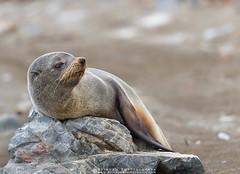 Fur Seal !!! (Arindam.Bhattacharya) Tags: newzealandfurseals seals arctocephalusforsteri otariidae mammals behaviour wild nature newzealand rocks redrocks antartica asiapacific
