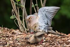 Mourning Doves (Zenaida macroura), Maury County, Tennessee (kmalone98) Tags: abstract wildlife mourningdove malonecreek dovesandpigeons columbidae zenaidamacroura aves