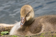 A very dozy Greylag gosling D50_8874.jpg (Mobile Lynn) Tags: birds wild geese greylaggoose nature anseriformes bird fauna wildlife estuaries freshwater lagoons lakes marshes ponds waterfowl webbedfeet hurst england unitedkingdom gb