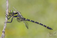 Cordulegaster bidentata ( BlezSP) Tags: sombregoldeenring cordulegasterbidentata cordulegastridae odonata libelula pririneos españa