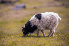 Mouton islandais III (sviet73) Tags: islande mouton animal ruby5