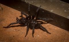Australothele jamiesoni (dustaway) Tags: arthropoda arachnida araneae mygalomorphae dipluridae australothele australothelejamiesoni australianspiders tamborinemountain mounttamborine sequeensland queensland australia