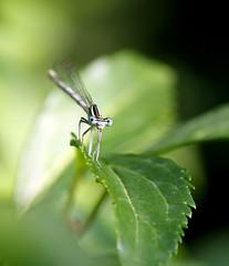 Dragonfly (samuelemarchesi) Tags: dragonfly libellula icu