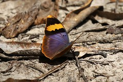 Gold-banded Forester (mgrimm82) Tags: pemba tanzania july 2017 euphaedraneophron