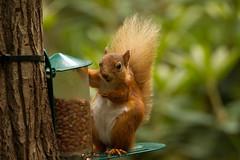Royal red Squirrels from Balmoral Estate (jon lees) Tags: redsquirrel scotland sciurus vulgaris braemar grampian mammal animal feedingstation