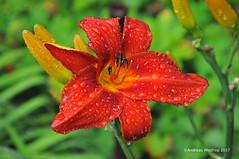 nach dem Regen 2017.07.16 (bremen fotoconnection) Tags: regen rain garten garden blüte flower nikond300 andreaswiethop