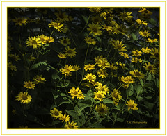 Yellow Daisies in soft light (TAC.Photography) Tags: yellow daisies yellowdaisies softlight light tomclarkphotographycom tomclark tacphotography