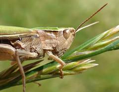 Grasshopper (Peanut1371) Tags: grasshopper insect bug nationalgeographicwildlife